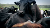 Cow Mounting In Closely Packed Herd video