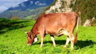 cow on grass video