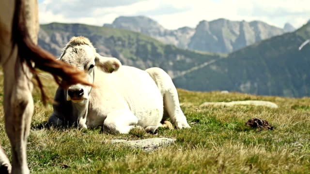 Cow on the Alps video