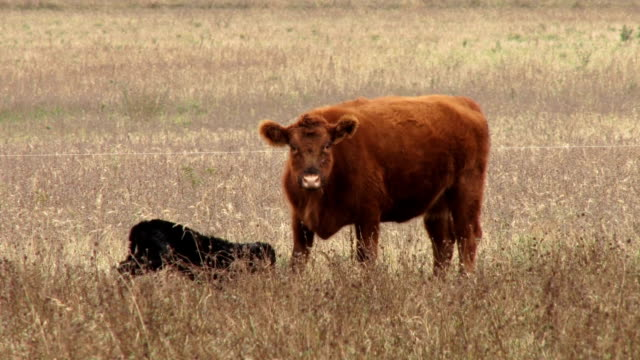 Cow playing with calf video