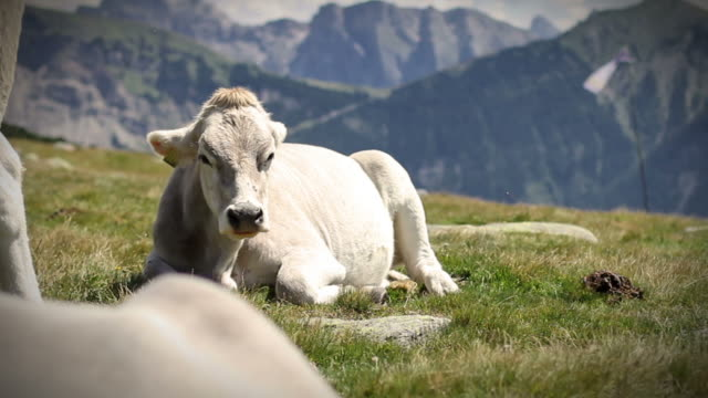 Cow Sitting and Ruminating video