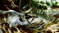 Cow skull on dry grass video