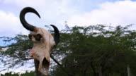 cow skull video