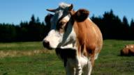 HD MACRO: Cow video