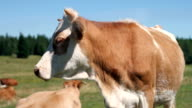 HD STOCK: Cow video