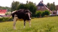 HD Cow video