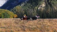 Cowboy and Cowgirl galloping on horseback chasing cattle video