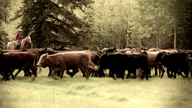 Cowboy and Cowgirl  herding cattle from field video