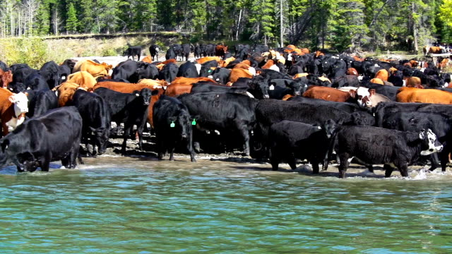 Cowboy herding cattle across a river video