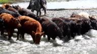 Cowboy herding cattle across river  rapids video