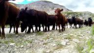 Cowboy herding cattle on  horseback through a mountain pass video