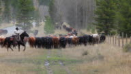 Cowboy leading cattle drive video
