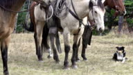 Cowboy on horseback and cattle dog waiting to herd cattle video