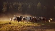 Cowboy on horseback herding cattle at sunset video
