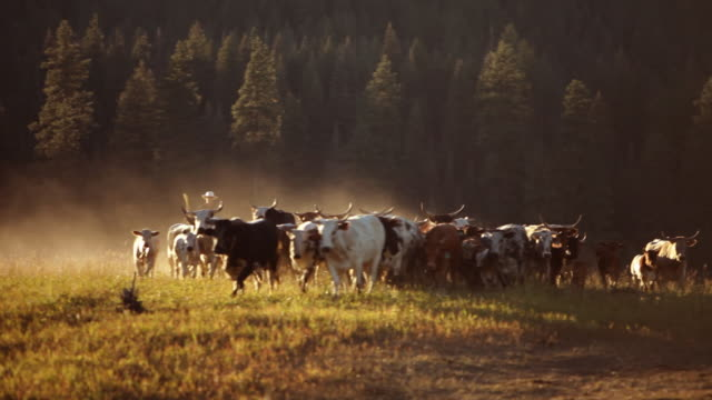 Cowboy on horseback herding cattle at sunset video