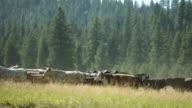 Cowboy on horseback herding cattle video