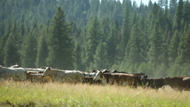 Cowboy on horseback herding cattle video