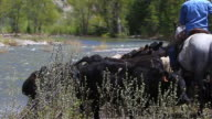 Cowboys and Cowgirl on horseback herd cattle across river video