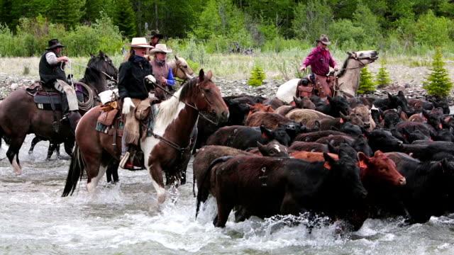 Cowboys herding cattle across a river video