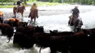 Cowboys herding cattle across river  rapids video