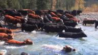 Cowboys herding cattle across river video
