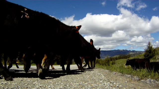 Cowboys herding cattle down the road video
