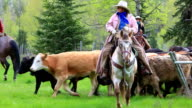 Cowboys herding cattle from field video