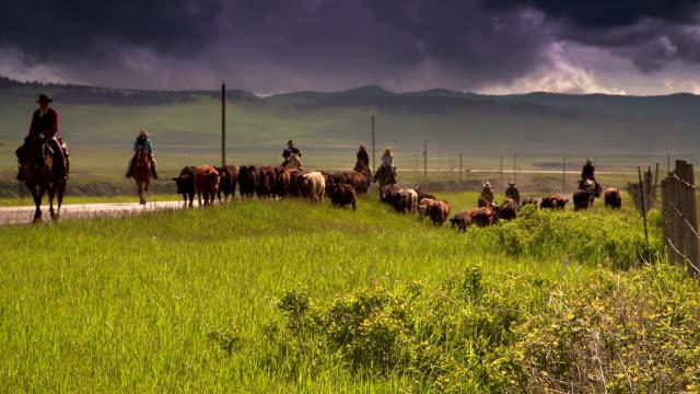 Cowboys herding cattle on  horseback along fence line video