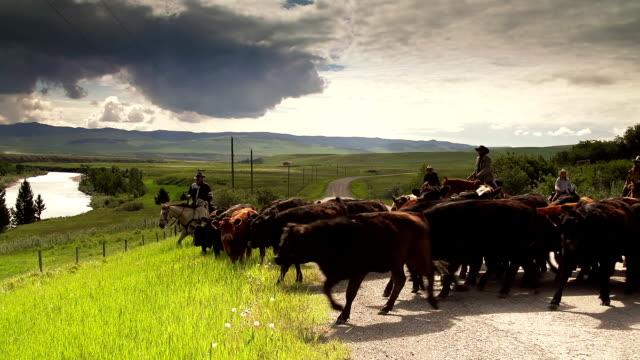 Cowboys herding cattle on  horseback down country road video