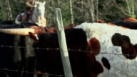 Cowboys herding Longhorn Cattle in a holding pen video