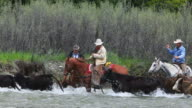 Cowboys on horseback herd cattle across river video