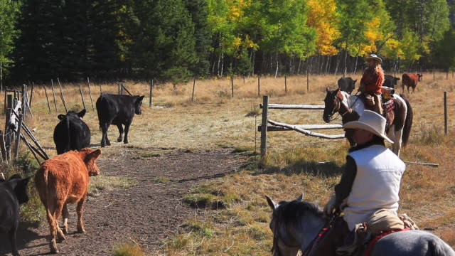 Cowgirl and Cowboy counting cattle on horseback video