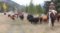 Cowgirl counting cattle on horseback video