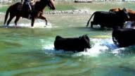 Cowgirl on horseback  herding cattle across a river video