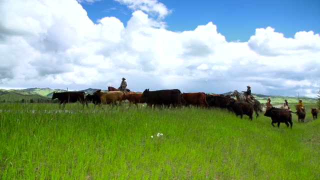Cowgirls and cowboy herding cattle on  horseback across  country road video