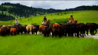 Cowgirls and cowboy herding cattle on  horseback on back country road video