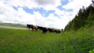 Cowgirls and cowboy herding cattle on  horseback down a back country road video