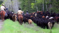 Cowgirls and Cowboys herding cattle video