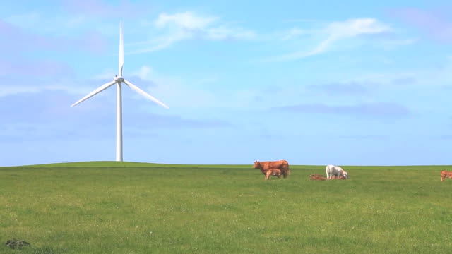 Cows and wind turbine video