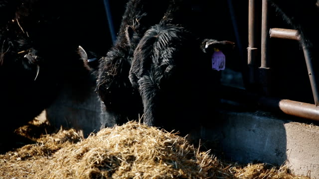 Cows are eating hay video