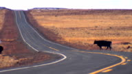 cows crossing road in the middle of nowhere video