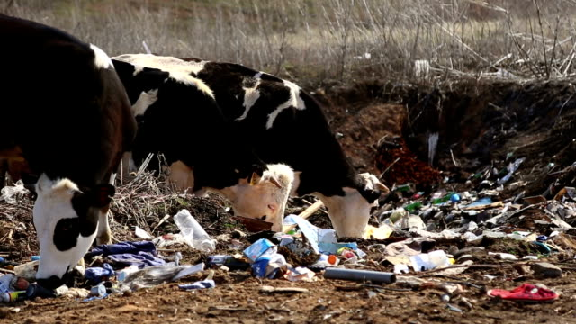 Cows eating garbage video