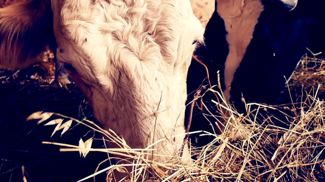 cows eating hay in the barn:  shed, cowshed, cattleshed, farm, farmer video