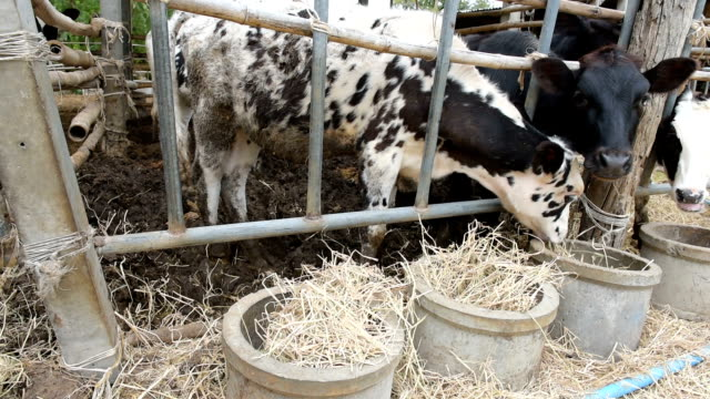 Cows eating straw in local farm in countryside of Thailand video