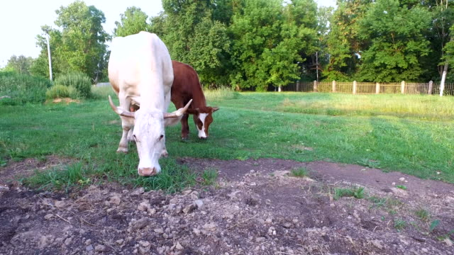 Cows graze on the lawn next to the park. video