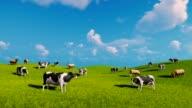 Cows graze on the open green meadows video