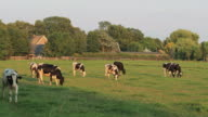 Cows grazes in Holland video