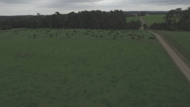 Cows Grazing Aerial View video