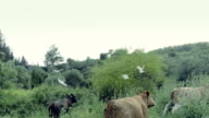Cows grazing at outer wood video