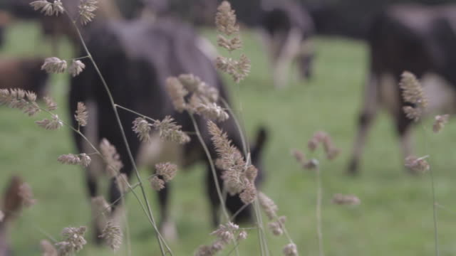 Cows Grazing Background video